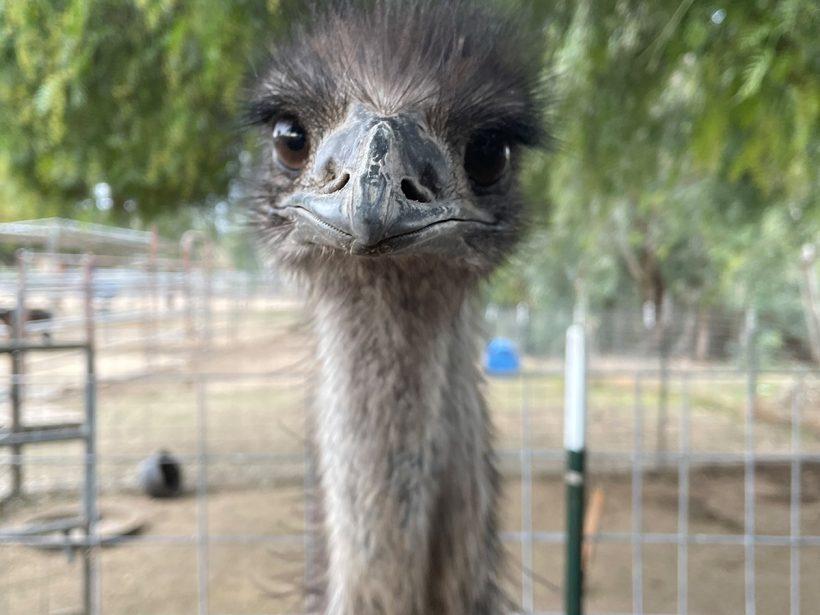 Emu Enclosure